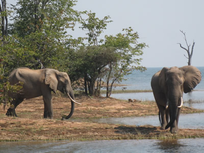 Elephants - Kariba