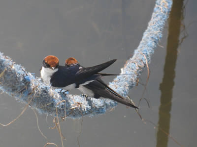 Swallows on the mooring rope